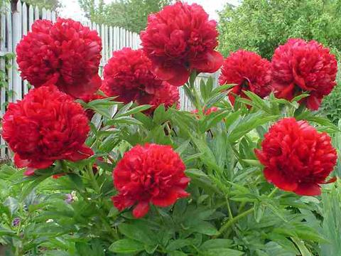 Погрижете се за многогодишните растения