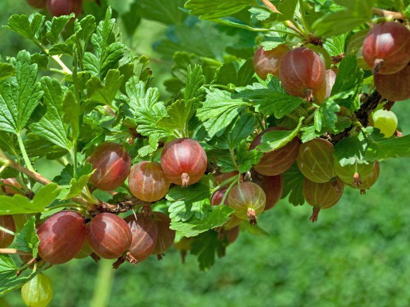 Цариградско грозде (Бодливо грозде)