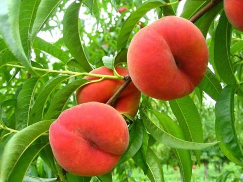 Предизвикайте прасковата да ражда едри плодове