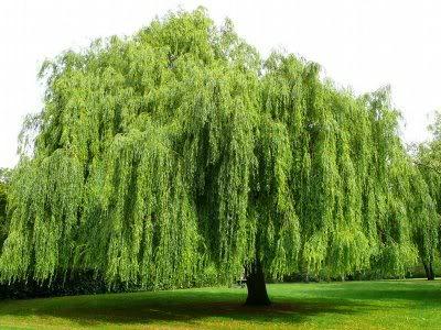 Дърветата с плачещи корони преобразяват градината