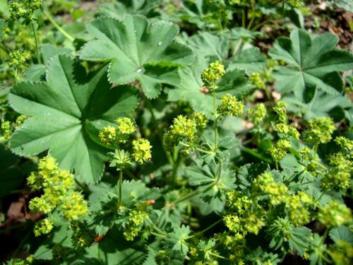 Резултат с изображение за alchemilla vulgaris билка