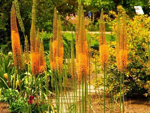 Украсете градината с лисичи опашки