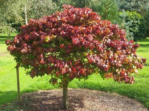 Ликвидамбър (Амброво дърво)