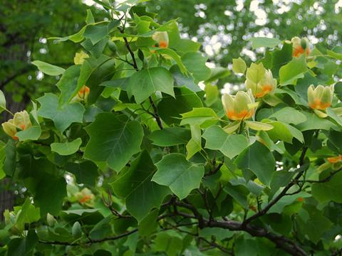Лириодендрон (Лирово дърво)