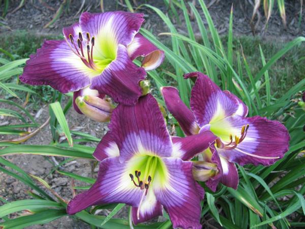 Хемерокалис – един непретенциозен красавец