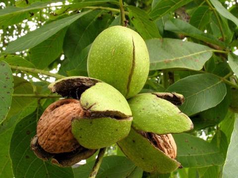 Нов метод за размножаване на орехи