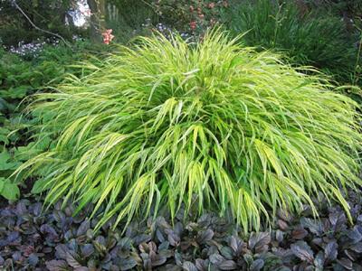 Японска трева (Хаконехлоа)