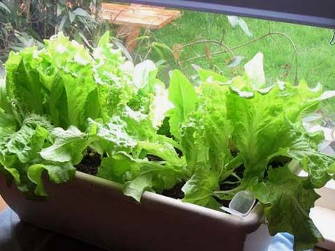Отгледайте си салатки в саксия