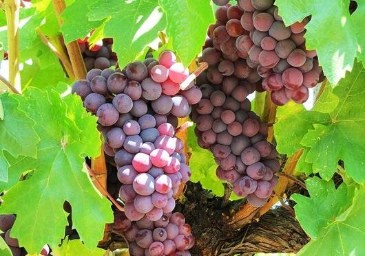 Кои са най-ранните сортове грозде?