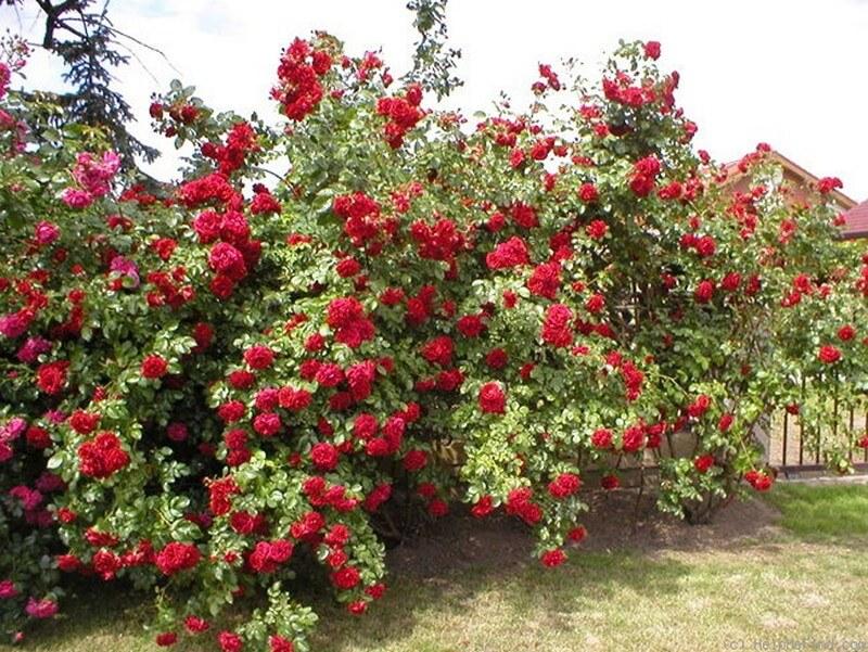 Резитба на виещи се рози
