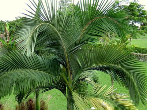 Палма се захваща от семка