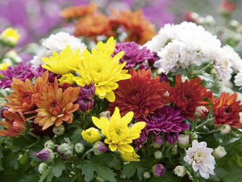 Хризантемата лекува хипертония