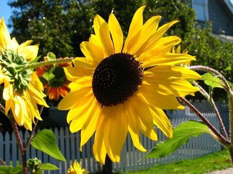Сейте декоративния слънчоглед направо в градината