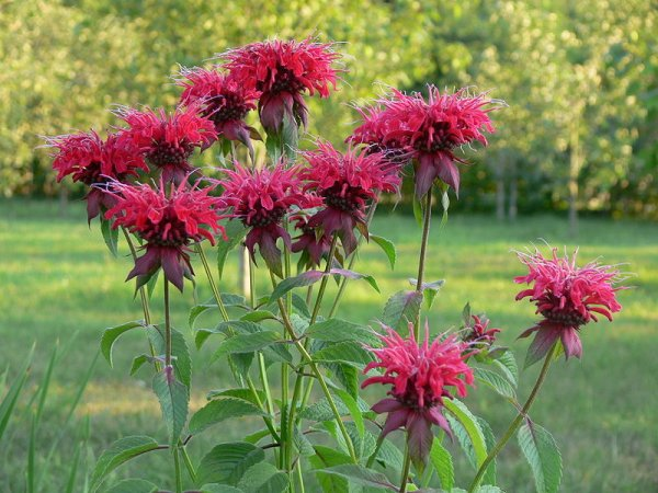 Монардата – красиво цвете или ароматна подправка
