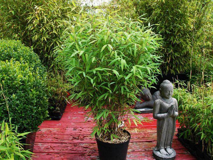 Арундинария (Стаен бамбук)