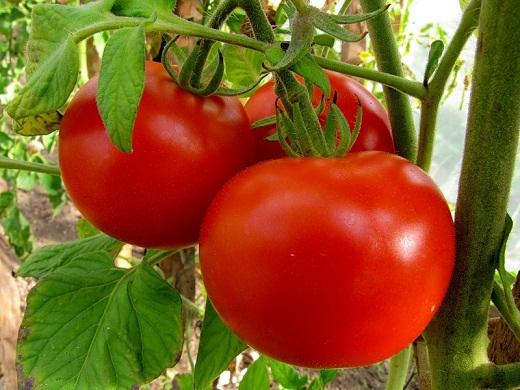 Защо ми увяхнаха доматите?