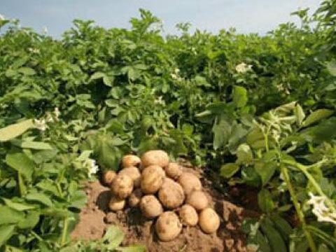 Заразените картофи първо се пръскат, после се прибират