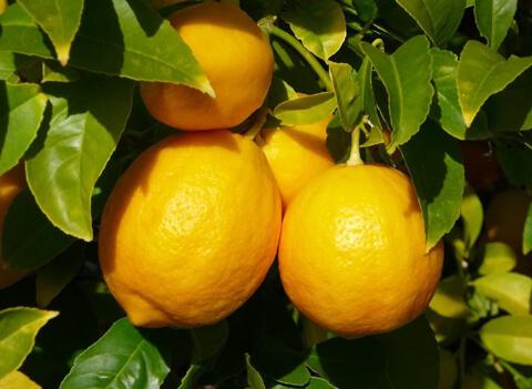 Лимон можем да си прихванем и сами