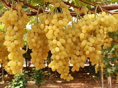 Безсеменният сорт Афродита дава най-качественото грозде