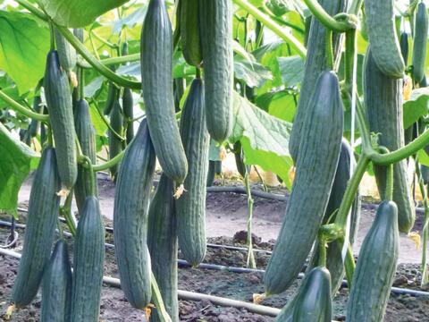 Засадете ранните краставици