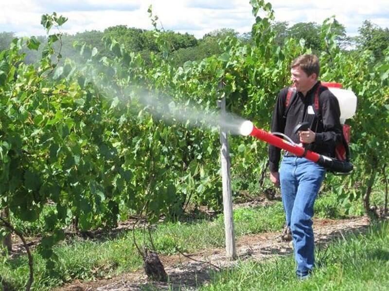 Растителна защита на лозите през септември