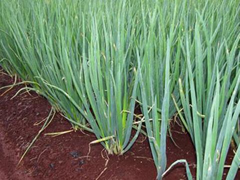 Осигурете си зелен лук за ранната пролет