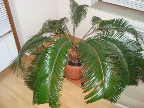 Изберете си палма за хола