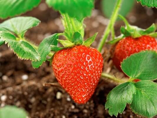 Не торете ягодите с азот през пролетта