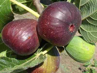 Как да опазим смокинята от зимните студове
