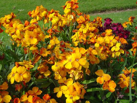 Сега е моментът да засадите двугодишните цветя