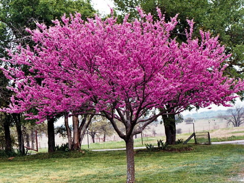 Дървото на Юда разцъфтява в лилаво