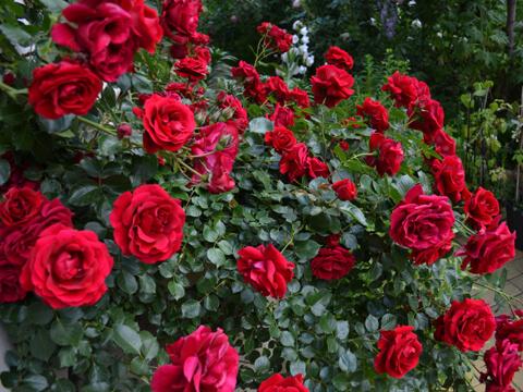 Как се вкоренява клонка от роза