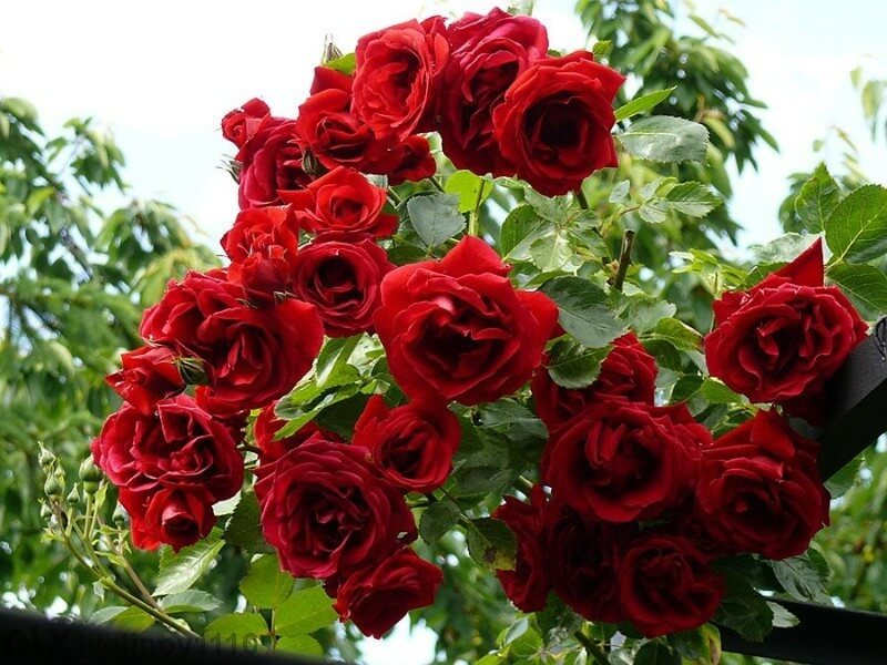 Захванете си роза от клонка