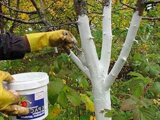 Защо дръвчетата трябва да се варосат наесен