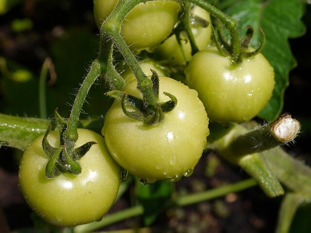 Оберете зелените доматчета
