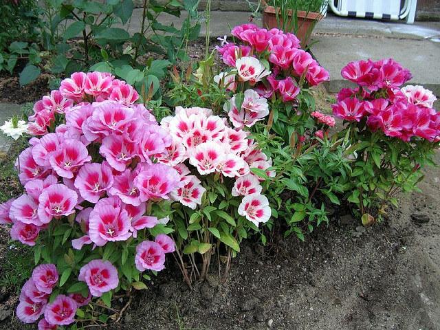 Кои цветя да засеем преди зимата