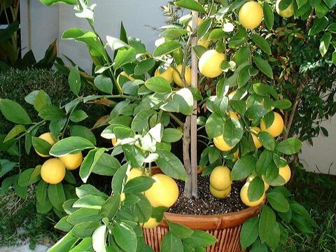 Отрежете върха на стайния лимон