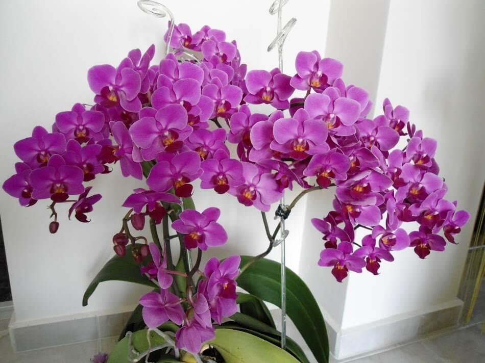 Орхидея се пресажда само в краен случай