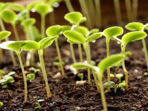 Не изхвърляйте старите семена