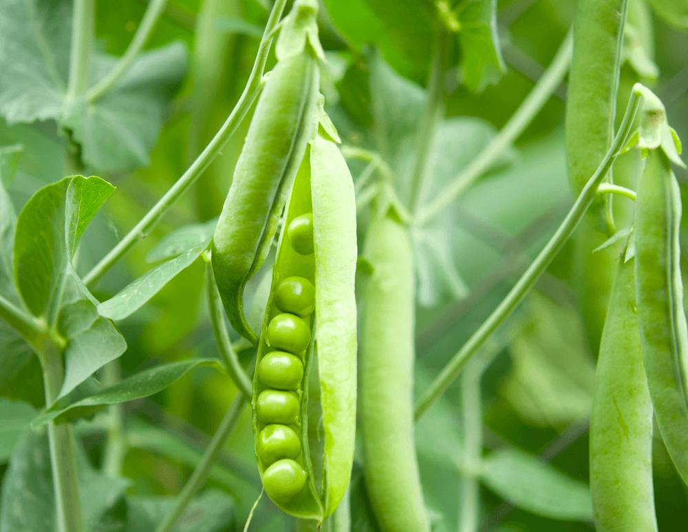 Сега грахът се нуждае от листно подхранване