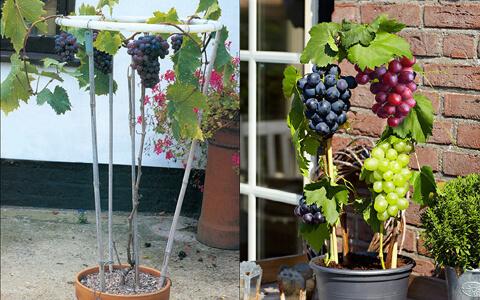 Завъдете си лоза на прозореца, за да ядете грозде през цялата година