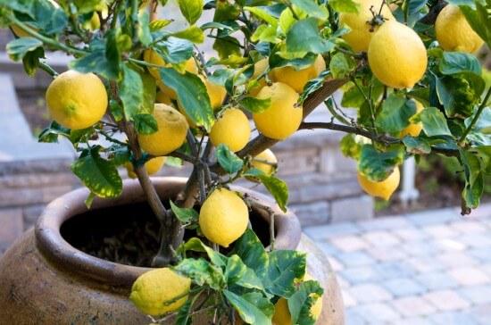 Защо лимоните хвърлят плодовете си?