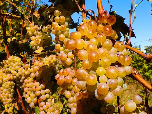 Алуминиево фолио умножава гроздовата реколта