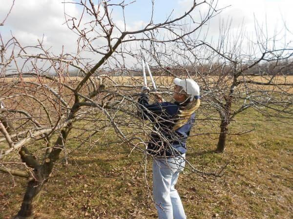 Не подценявайте резитбата на плодните дръвчета