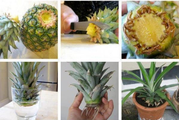 Можете да отгледате ананас и в дома си