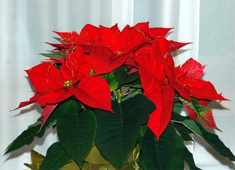 Осигурете на Коледната звезда къс ден