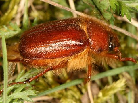 Априлски бръмбар