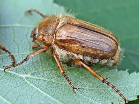 Обикновен юнски бръмбар