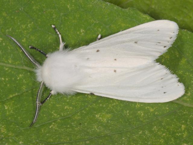 Бяла американска пеперуда