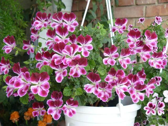 Какво представляват ампелните растения?